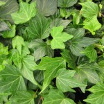 hedera-helix-green-ripple