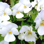 witte-viooltjes